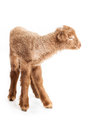 Baby lamb isolated on white background cute little brown backgorund Royalty Free Stock Photo