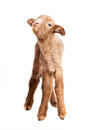 Baby lamb isolated on white background cute little brown backgorund Royalty Free Stock Photography