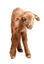 Baby lamb isolated on white background cute little brown backgorund Stock Images