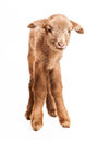 Baby lamb isolated on white background cute little brown backgorund Stock Photos