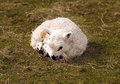 Baby lamb laying in grass very young on Royalty Free Stock Images