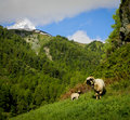 Baby lamb mother ewe and the matterhorn a stands protectively near her newborn in a swiss valley near Stock Image