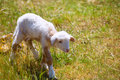 Baby lamb newborn sheep standing on grass field walking green Royalty Free Stock Photo