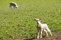 Baby lambs Royalty Free Stock Photo