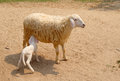Baby lambs suckle milk from mother sheep Royalty Free Stock Photo
