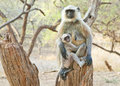 Baby langur with mother image of and sitting on tree trunk Royalty Free Stock Photography