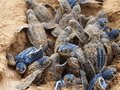 Baby leatherback turtle nest turtles climb out of their at bluff beach isla colon bocas del toro panama Stock Image