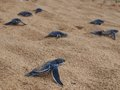 Baby leatherback turtles travel down the beach to the sea at bluff beach isla colon bocas del toro panama Stock Photography