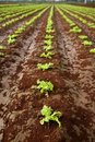 Baby lettuce sprouts on a red claiy soil Royalty Free Stock Photos