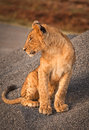 Baby lion cub looking left a in kenya s nairobi national park Royalty Free Stock Images