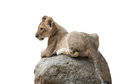 Baby lion sit on the rock isolated Royalty Free Stock Photo