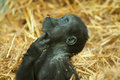 Baby lowland gorilla photo of a looking up Stock Images