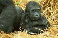 Baby lowland gorilla photo portrait of a Stock Photos