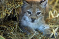 Baby Lynx Royalty Free Stock Photos