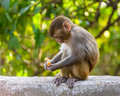A baby macaque eating an orange in swayambhunath kathmandu nepal Royalty Free Stock Image