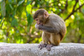 A baby macaque eating an orange in swayambhunath kathmandu nepal Royalty Free Stock Photos