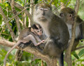 A baby macaque monkey feeding off its mother on tree branch Royalty Free Stock Image