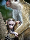 Baby macaque wild in its mothers arms Royalty Free Stock Images