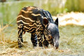 Baby malayan tapir tapirs have striped and spotted coats for camouflage Stock Photography