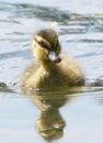 Baby Mallard Duck Duckling - Anas platyrhynchos Royalty Free Stock Photo