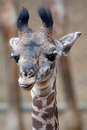 Baby Masai Giraffe Royalty Free Stock Photo