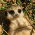 Baby meerkat looking at you Stock Photo