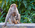Baby Monkey with Mother Stock Photos