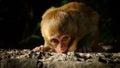 Baby monkey staring at me Royalty Free Stock Photo