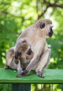 Baby monkey sucks the milk of it's mother Royalty Free Stock Photo