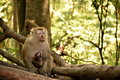 Baby monkeys receive care from his mother monkey animal wild thailand travel grooming clean asian green cute rhesus ape rare hairy Royalty Free Stock Photos