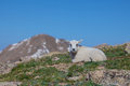 Baby Mountain Goat Bedded Royalty Free Stock Photo