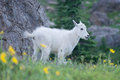 Baby Mountain Goat Grin Royalty Free Stock Photo