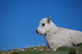 Baby mountain goat portrait a cute bedded in the high alpine Royalty Free Stock Images