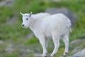 Baby Mountain Goat Royalty Free Stock Photo