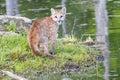 Baby mountain lion Royalty Free Stock Photo