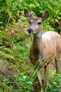 Baby mule deer in british columbia canada a black tail the forests of Royalty Free Stock Image