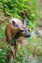 Baby mule deer in british columbia canada a black tail the forests of Stock Photography