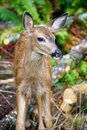 Baby mule deer in british columbia canada a black tail the forests of Royalty Free Stock Photos