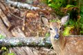 Baby mule deer in british columbia canada a black tail the forests of Stock Image