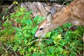 Baby mule deer in british columbia canada a black tail the forests of Stock Photo