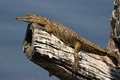 Baby nile crocodile basking in the sun on a tree branch with it s mouth closed Royalty Free Stock Image