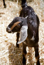 Baby Nubian Goat Kid Stock Photo