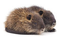 Baby nutria on a white background Stock Photos