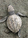 Baby Olive Ridley sea turtle Royalty Free Stock Photo
