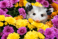 Baby Opossum Royalty Free Stock Photo