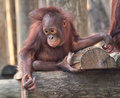 Baby orangutan adorable not to far from his mother Royalty Free Stock Photos