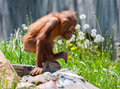 Baby orangutan climbing on a bunch of rocks Royalty Free Stock Photo