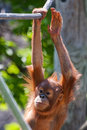 Baby orangutan climbing on high on a rope Stock Photography