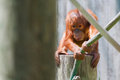 Baby orangutan climbing on high on a rope Royalty Free Stock Photos