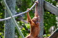 Baby orangutan climbing on high on a rope Stock Photo